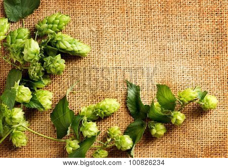 Twigs of hop over burlap background. Fresh green hops with cones on sack. Hop plant close-up. Beer production ingredient. Brewing