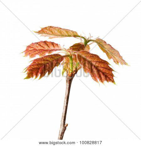 Oak Sprout