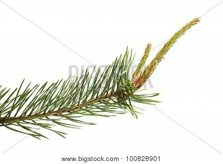 Pine Twig Isolated In White