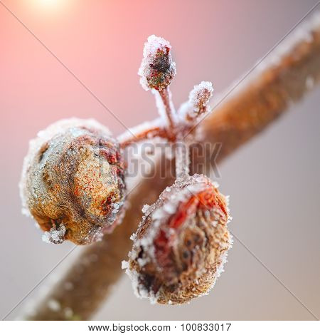 Rotten Apples Covered With Frost
