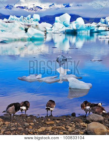 Floes floating in the ocean, and polar birds on the shore of the lagoon are reflected in the ocean. Yokulsarlon Glacial Lagoon in Iceland