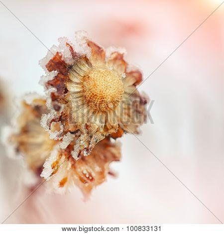 Frozen Chrysanthemum At Sunset