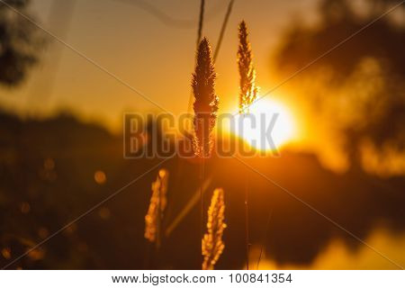 stalk of wheat grass close-up photo silhouette at sunset and sun