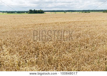 agriculture, farming, cereal and land cultivation concept - field of ripening wheat ears or rye spikes