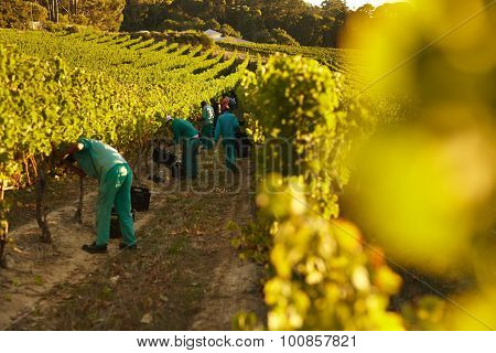 People Harvesting In Vineyard