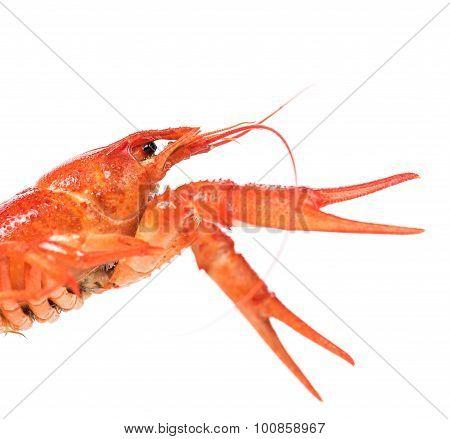 Big Crayfish