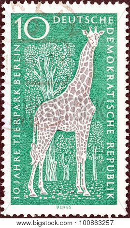 GERMAN DEMOCRATIC REPUBLIC - CIRCA 1965: A stamp printed in Germany shows Giraffe