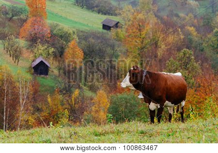 Autumn time. A brown cow with a bell around his neck. Mountain Village