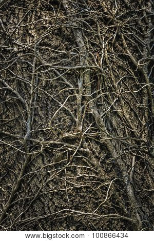 Twining Leafless Creeping Branches