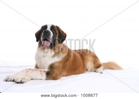 Laying Down St Bernard