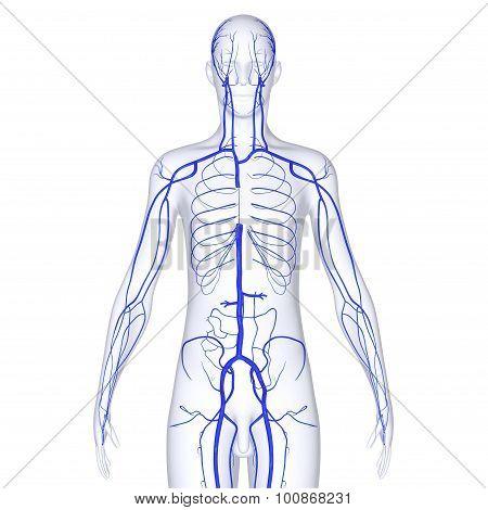 Human veins