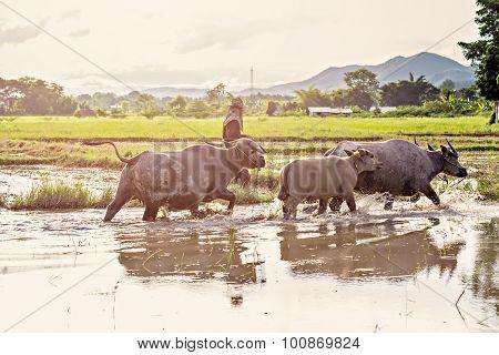 Thai Water Buffaloes Walking Through A Swamp