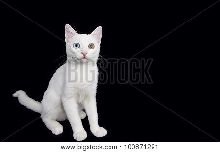White Cat, Green and Blue Eyes
