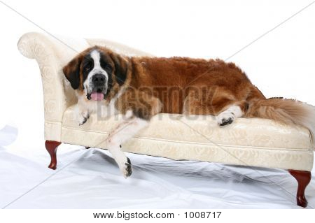 Saint Bernard On Sofa