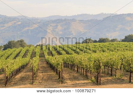 The Grapes Farm Of Napa Valley