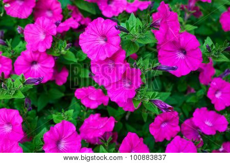 Pink petunia flowers close-up view.