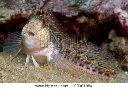 blenny colorful