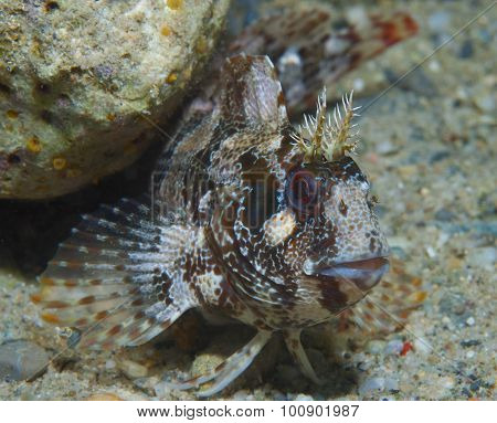 Red-eyed blenny