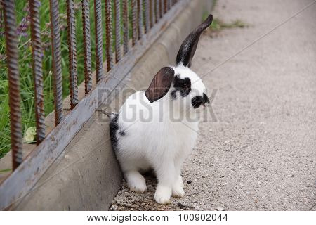 Black-and-white Rabbit Sits At A Fencing