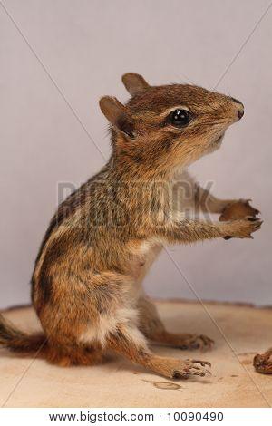 Chipmunk Taxidermy