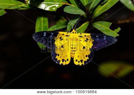 Dysphania Militaris Moths On Leaf