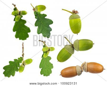 set of oak leaves and acorns isolated on white background