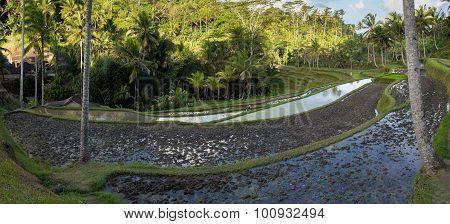 Rice Terraced Paddy Fields In Gunung Kawi, Bali, Indonesia