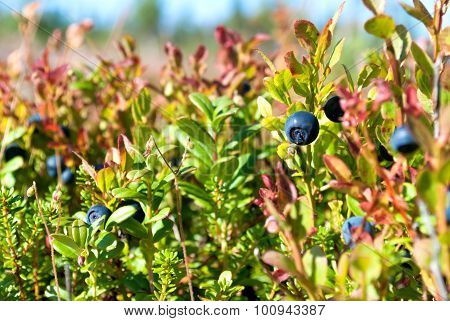 Vaccinium Uliginosum (bog Bilberry Or Northen Bilberry)