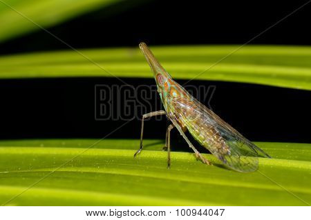 Aphid Longnosed Planthoppers Dictyopharidae