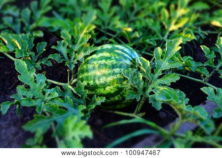 Young watermelon