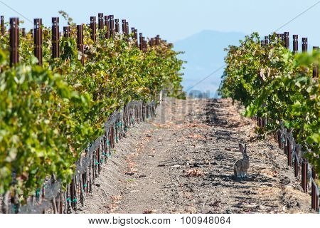 Rabbit In A Vineyard Row In The Shade