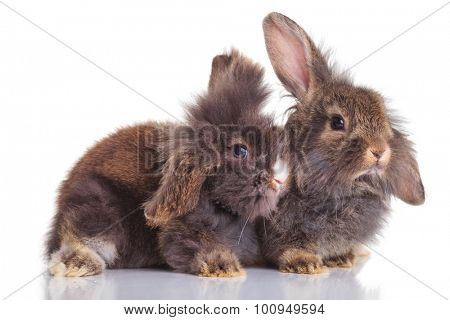 Side view of two lion head rabbit bunnys lying down on isolated background.