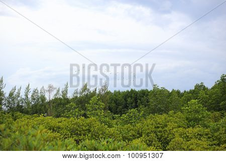 Mangrove trees of Prong Thong forest