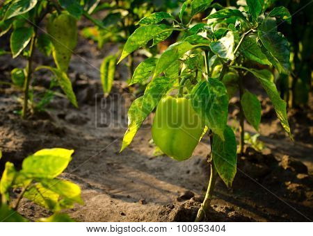 Green bell pepper plant with ripe peppers