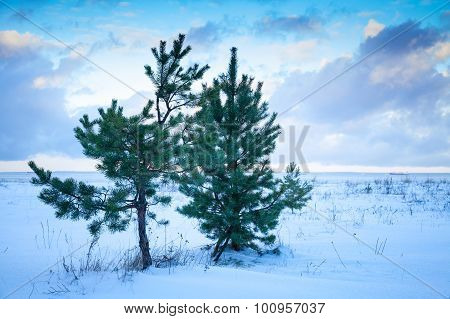 Small Pine Trees On Baltic Sea Coast Under Cloudy