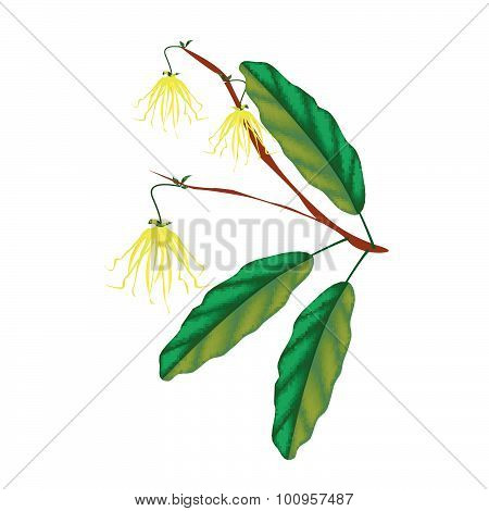 Thai Ylang Ylang Flowers On White Background