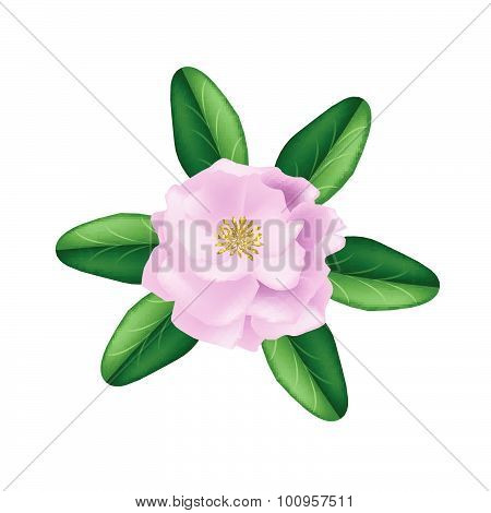 Single Pink Damask Rose On A White Background