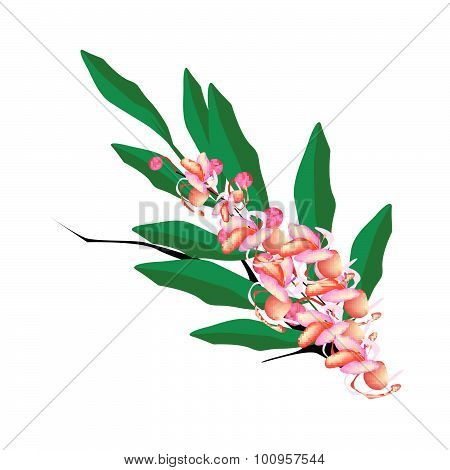 Pink Cassia Fistula Flower On White Background