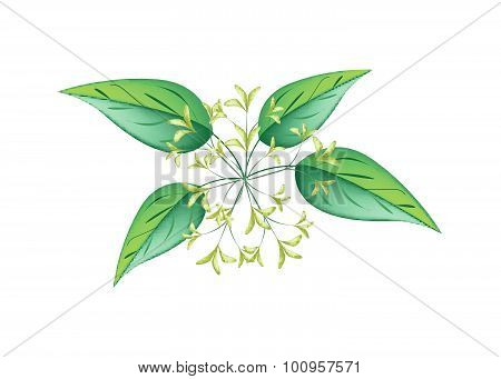 Bunch Of Night Blooming Jasmine On A White Background