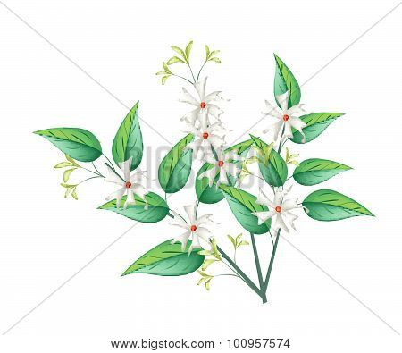 Night Blooming Jasmine On A White Background