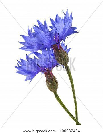 Double Blue Cornflower Isolated On White Background