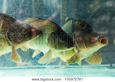 Carp Or Mahseer In Aquarium