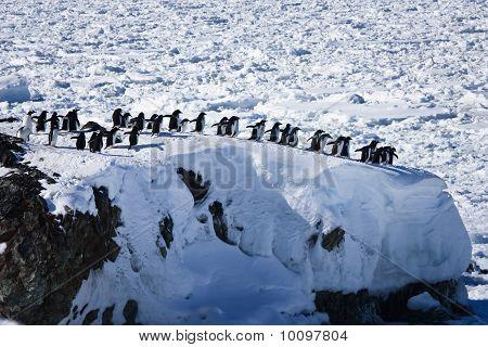 Um grande grupo de pinguins