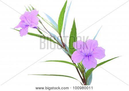 Ruellia tuberosa flower focus lower one on white background.