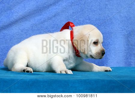 The Nice Little Cute  Labrador Puppy On A Blue Background