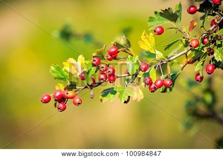 abstract hawthorn twig with red berry