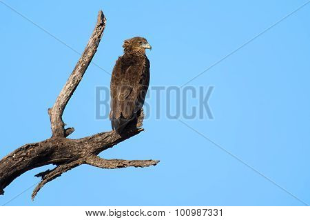 Bateleur Juvenile Sitting Alone On A Dead Branch Against Blue Sky