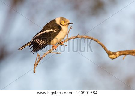 White-crested Helmet Shrike Sitting On Small Branch Warming In The Morning Sun