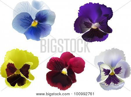 illustration with five garden violet blooms isolated on white background