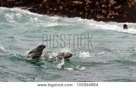 Seals Swim And Jumping Out Of Water .
